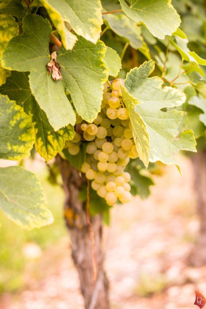 P&C Grappe Raisins Blanc Cep vigne